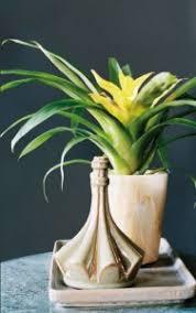 plante pour cuisine guzmania la plante idéale pour votre cuisine ou votre salle de