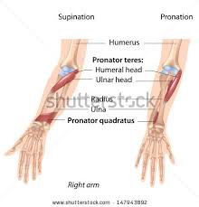 Anatomy Of The Right Arm Arm Bone Stock Images Royalty Free Images U0026 Vectors Shutterstock