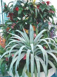 Large Indoor Plants Kill Unless Try Really Money Tree Bonsai Walmartcom Money Where To