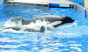 tilikum world u0027s most famous killer whale dies at 36 the