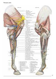 Nerves In The Knee Anatomy Anatomy Of The Horse