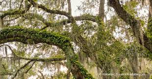 Georgia vegetaion images Savannah ga 39 s live oak trees and spanish moss jpg