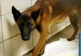 belgian sheepdog rescue colorado bossier city la belgian malinois under 1 yr male fear agressive