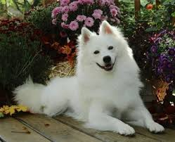american eskimo dog dallas 40 best images about american eskimo dog on pinterest dog leash