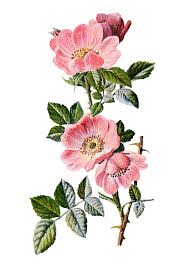 princess china sweet briar pink sweet briar from familiar flowers by f edward