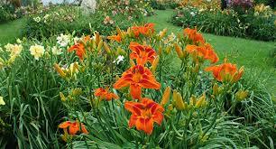 daylilies for sale daylilies florist heavenly gardens westland ohio