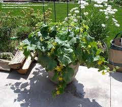 vegetable gardening bush cucumber too big for it u0027s pot 1 by