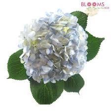 wholesale hydrangeas blue flowers for wedding bloomsbythebox