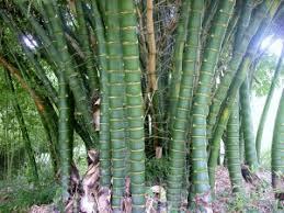 bamboo australia bamboo plants landscaping