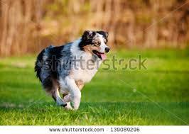running with australian shepherd puppy australian shepherd puppy stock images royalty free images