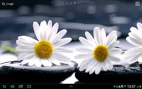 daisies flowers live wallpaper android apps on google play
