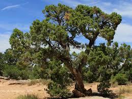 native utah plants semidesert shrublands life zone plants and trees