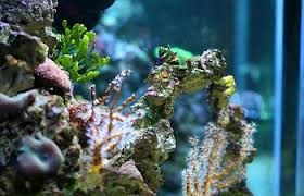 Floating Aquascape Reef2reef Saltwater And Reef Aquarium Forum - keeping seahorses in aquaria 1 introduction and setting up your