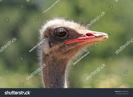 common ostrich bird african wildlife migratory stock photo