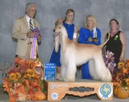 afghan hound of america jolie afghan hounds news