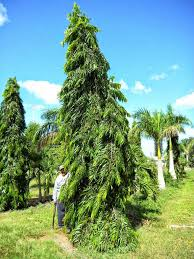 liliana usvat reforestation and medicinal use of the trees