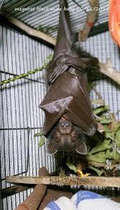 megabat black male baby flying fox fruit bat 20 11 2015