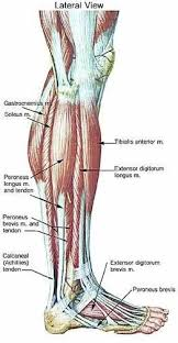 Interactive Muscle Anatomy The 25 Best Foot Anatomy Ideas On Pinterest Anatomy Anatomy