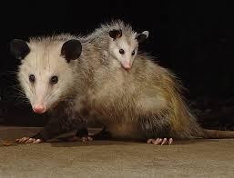 Possum In My Backyard 108 Best Oh Opossum My Opossum Images On Pinterest Baby