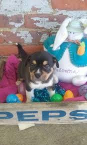 8 week old australian shepherd mix american bulldog australian shepherd mix puppy for sale in delta