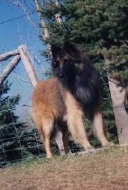 belgian shepherd rescue victoria welcome to u003cfont size u003d