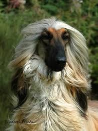 afghan hound lifespan caroline u0027s treasures afghan hound burlap indoor outdoor throw