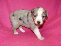 3 week old australian shepherd puppy lacy and wyatt s puppies now 4 weeks old kicks and giggles mini