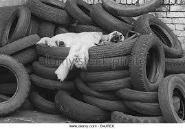afghan hound vintage afghan hound black and white stock photos u0026 images alamy