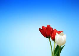 free stock photos of tulips pexels