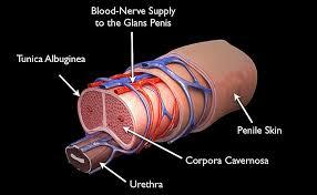 Mri Sectional Anatomy Normal Penile Mri Anatomy Radiology Anatomy Images