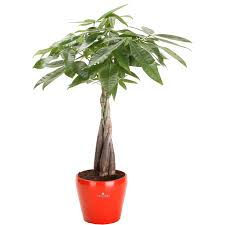 shop 6 in money tree in planter at lowes