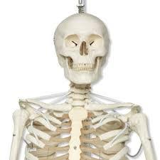 posable skeleton functional human skeleton realistic movement posable