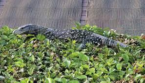 4 foot long lizard found in southern california backyard state