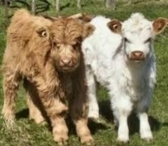 animali da cortile definizione allevamento bovini bovini