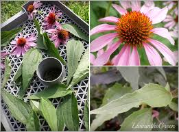 livin u0027 in the green how to make your own echinacea tea