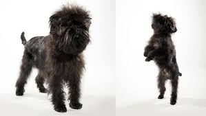 affenpinscher white affenpinscher dog breed selector animal planet