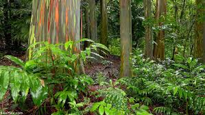 Rainbow Eucalyptus Maui Plant Of The Month Eucalyptus Bike Maui