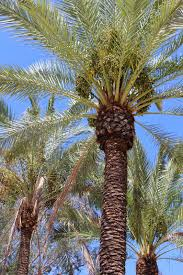 edible tropicals how to grow date palms from seed