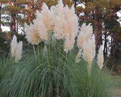 ornamental grasses you should get to drought tolerant