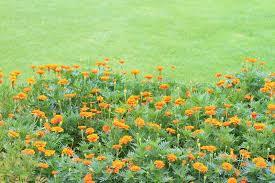 buy stock photos of marigold colourbox