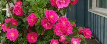 Flowersbybillbush Montreal Postal Code Map - climber hybrid kordesii rose rosa u0027william baffin u0027