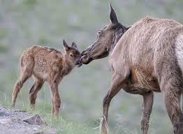 Montana Wildlife Tours images Yellowstone wildlife tours guided yellowstone safaris jpg