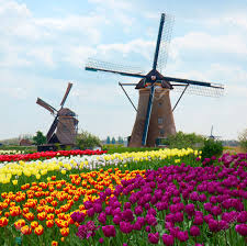 Netherlands Tulip Fields Two Dutch Windmills Over Rows Of Tulips Field Netherlands Stock