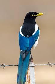 imagenes del animal urraca urraca seres especiales pinterest ave pájaro y aves exóticas