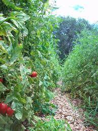 native leaf mulch for tomatoes four string farm