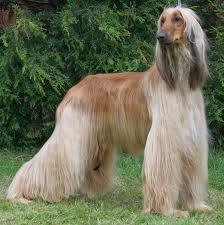 affenpinscher qualities dog breeds dog breeds