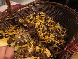 cuisiner les chanterelles grises chanterelle grises sechées delices d edith