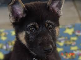 belgian shepherd 2 months westside german shepherd rescue of los angeles