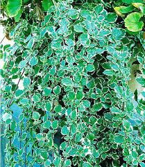 pflanzen fã r den balkon kletterpflanze halbschattig weihrauch3 pflanzen plectranthus