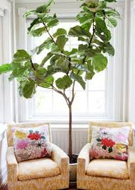 Fiddle Leaf Fig Tree Care by Play Up Some Fiddleleaf Figs For A Lively Indoor Tune